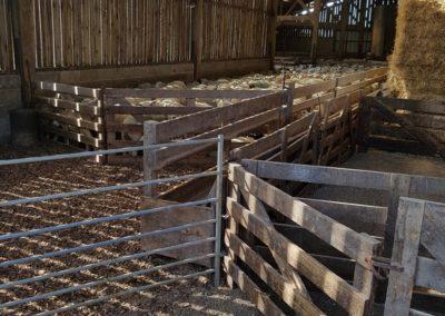 Moutons dans la grange